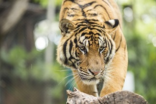 s-close-up-tiger-in-jungle-the-danger-animal_HD5lEiJ_3Mg-1.jpg